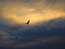 Flying Vultures