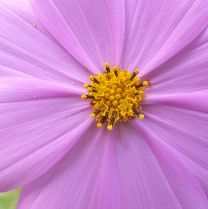 Soft Pink Cosmo