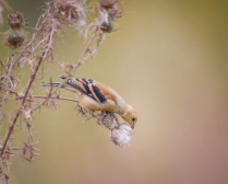 Goldfinch on the Thistle