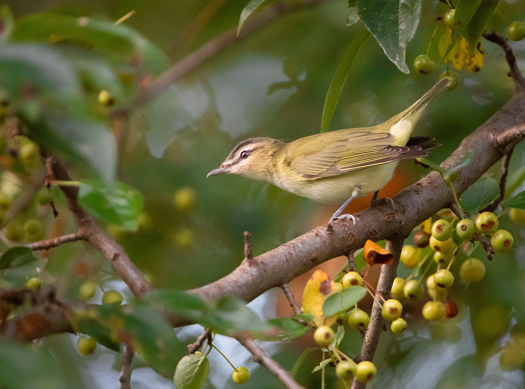 Red Eyed Vireo in the Berries - ID: 15856531 © Kitty R. Kono