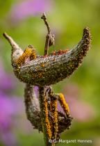 Milkweed Pod and Bugs