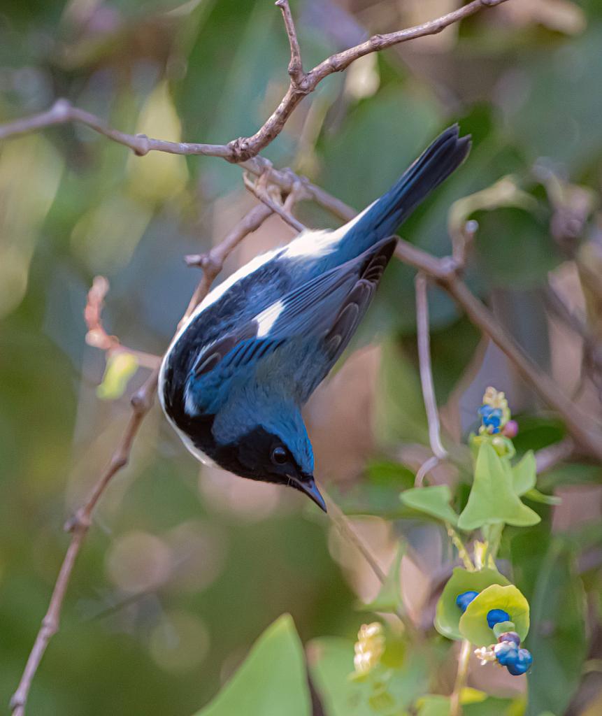 Black Throated Blue Warbler - ID: 15858622 © Kitty R. Kono