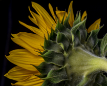 Sunflower Sideview