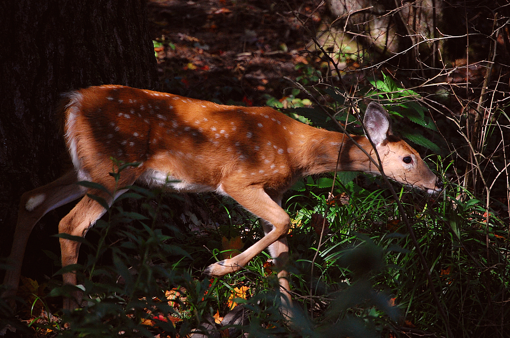 Bambi Foraging for Food
