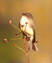 Eastern Phoebe-Singing
