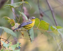 The Female Magnolia Warbler - My First!!