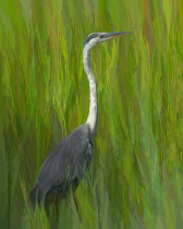 Great Blue Heron in the Tall Grass