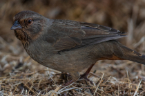 California Towhee Closeup