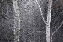 Winter birches and ice