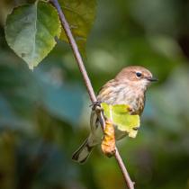 Little Yellow Rumped Warbler