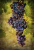 Vintage Grapes
