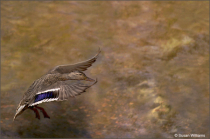 Mallard Landing on Thompson