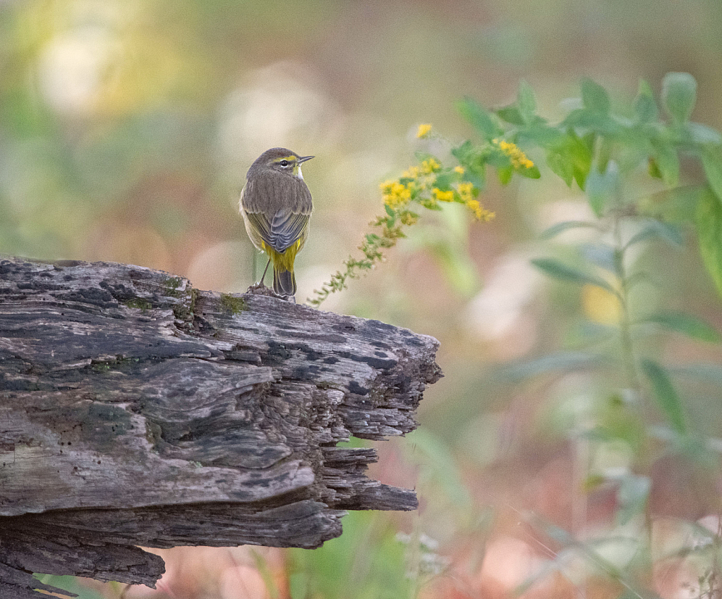 The Palm Warbler