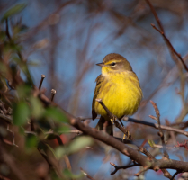 The Palm Warbler with Yellow Vest