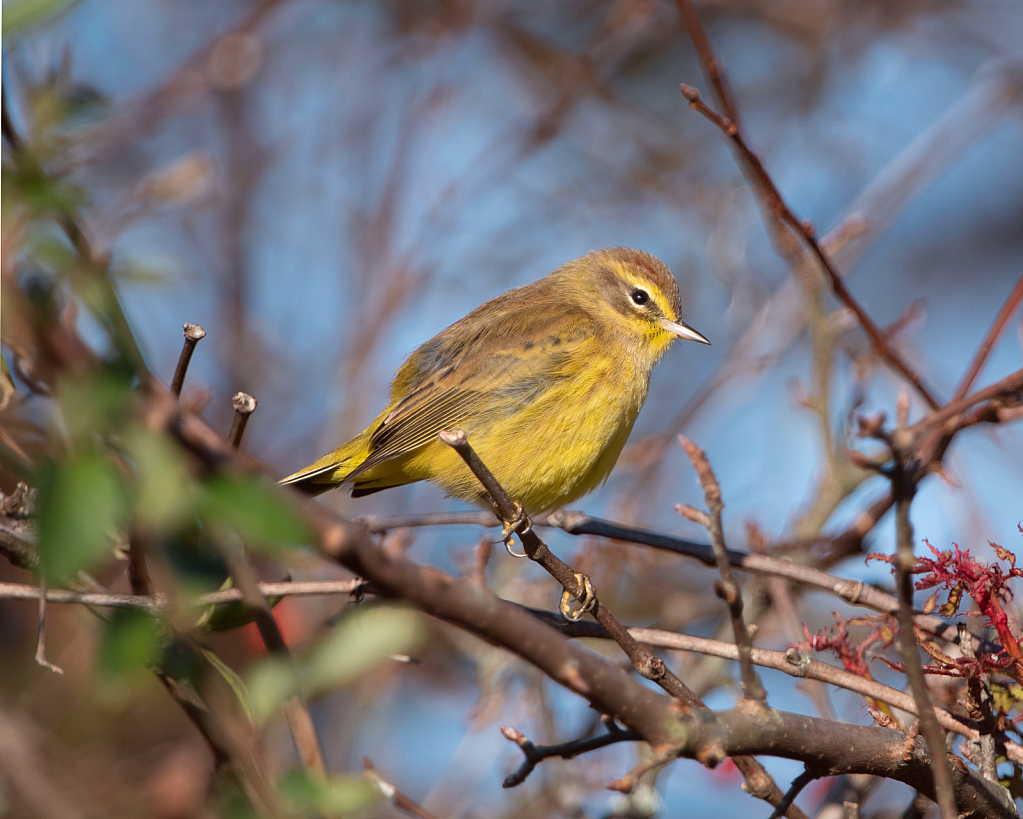 The Palm Warbler in the Woods