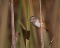 Clay Colored Sparrow in the Reeds