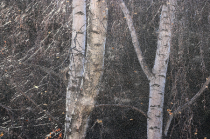Winter birches and ice #3