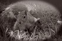 Gray Squirrel in Black & White