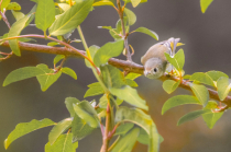 Ruby Crowned Kinglet Hears the Click