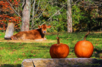Little Cow and Pumpkins