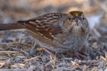 Golden-crowned Sparrow (1st Year)