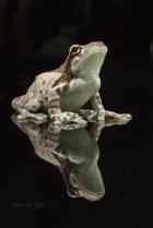 Amazon Milk Frog Portrait