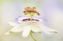 Cinnamon Tree Frog on a Passion Flower