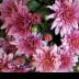 © Theresa Marie Jones PhotoID # 15862228: Pink Mums