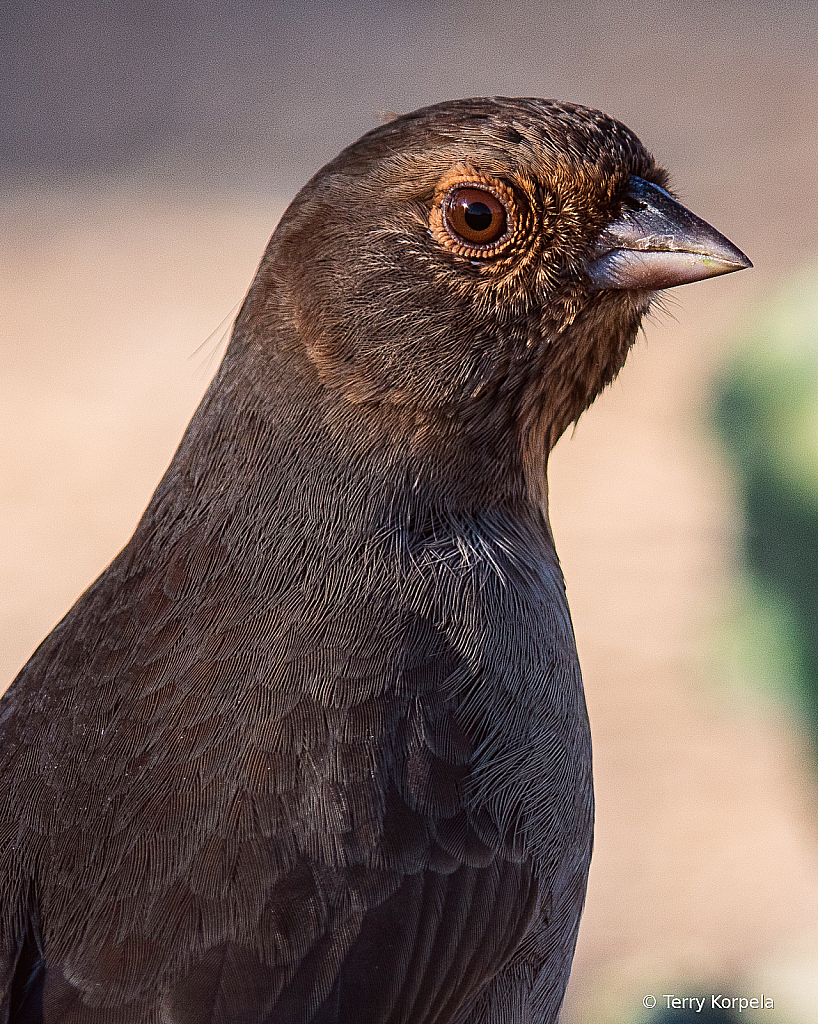 California Towhee Portrait