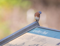 Bluebird Looking at the Sign