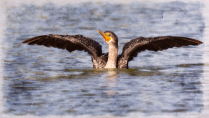Artistic Double-crested Cormorant