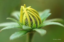 Black Eyed Susan Bud 3