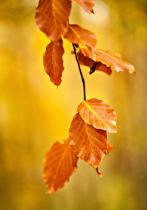 Autumn Golds