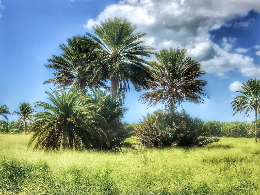 My Dates Palm Trees