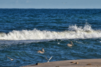 BIRDS AND PELICANS AT THE BEACH