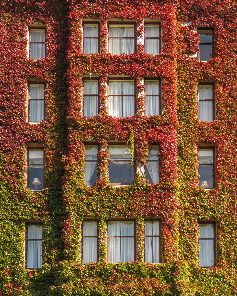 Peeping Ivy
