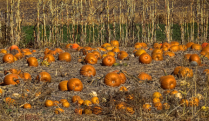 A Patch Of Pumpkins