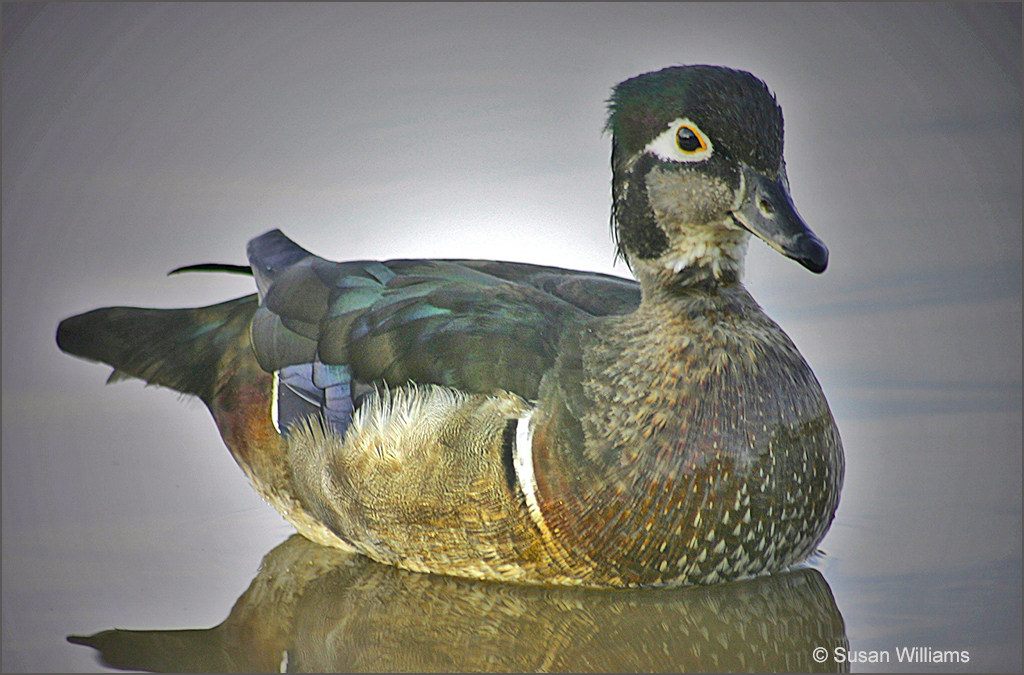 Lady Wood Duck