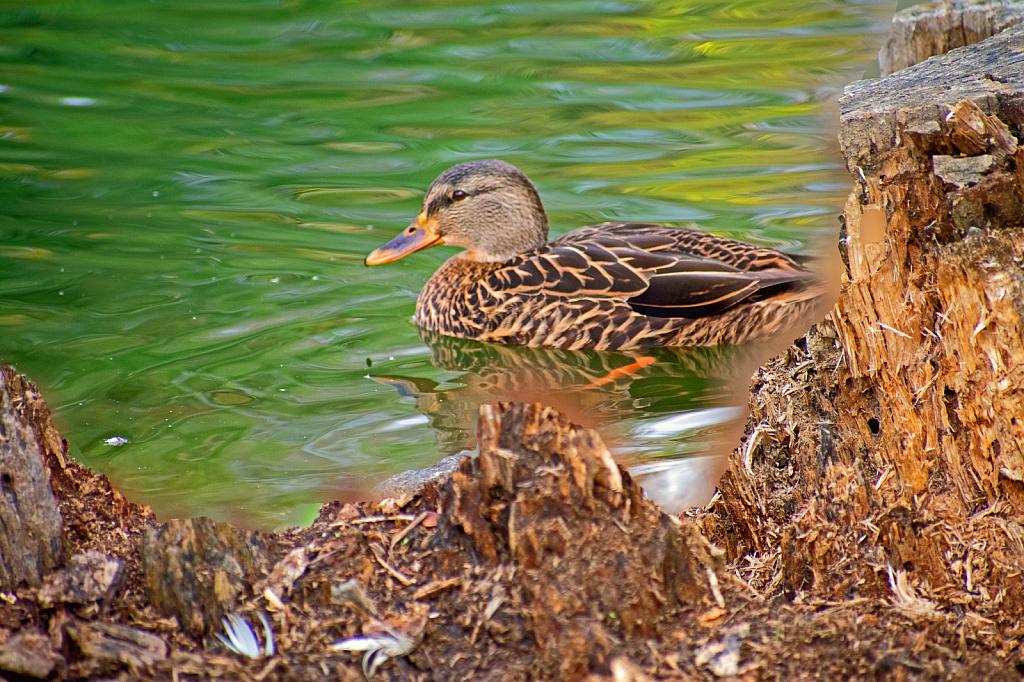 Photomerge Duck