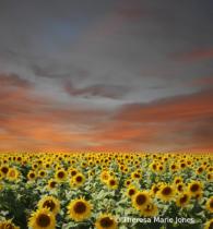 Sunset on Sun Flowers