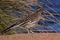 Road Runner At The Lake