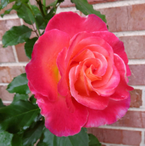 Our Roses Are Beautiful
