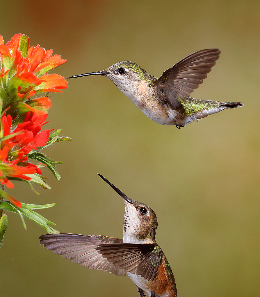 Two Hummers Feeding