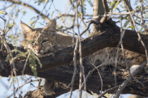 Bobcat Resting In A Mesquite Tree