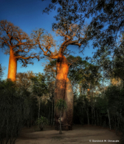 ~ ~ TWISTED BAOBABS ~ ~