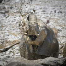 Baby elephant playing in the mud