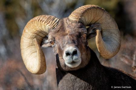 Cockeyed Ram