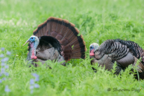 Turkey in the Meadow