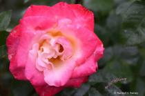Pink & Yellow rose macro...