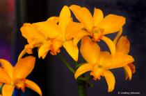 Cattleya Goldem Nugget Orchid